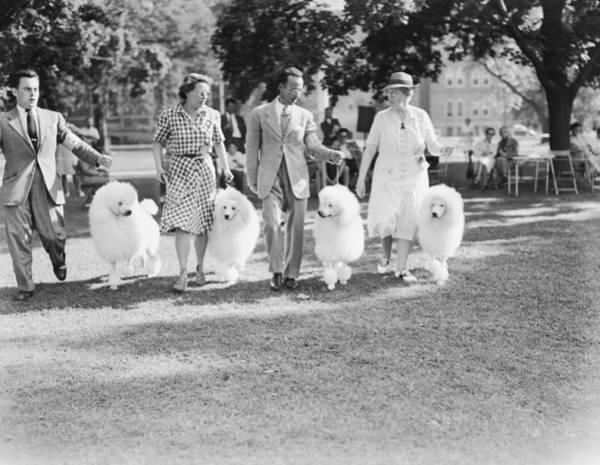 Poodle Photograph - Poodle Club by Bert Morgan