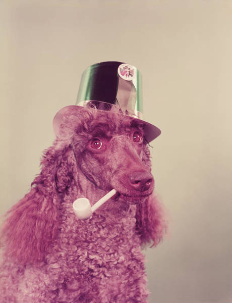Poodle Photograph - Poodle Wearing Hat, Holding Pipe In by H. Armstrong Roberts
