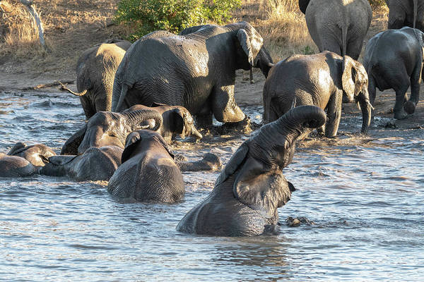Photograph - Pooltime For Elephants by Mark Hunter