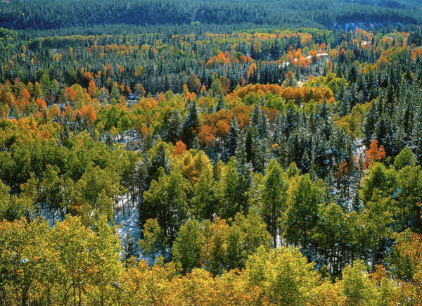 Viewpoint Photograph - Poplar And Spruce Trees In Autumn by Radius Images