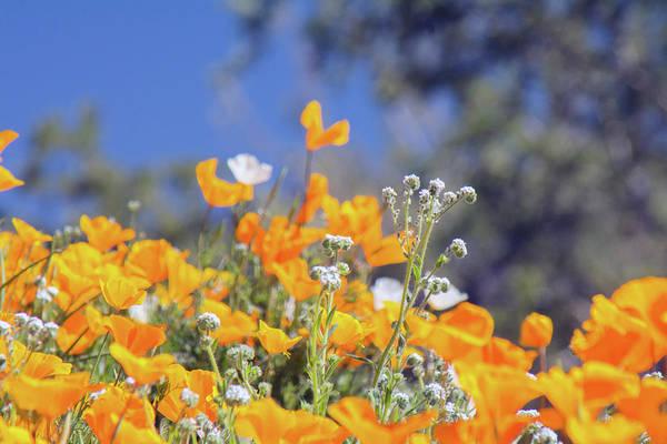Photograph - Poppies 5667-030519 by Tam Ryan
