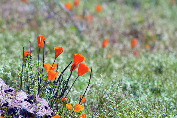 Photograph - Poppies 5751-031419 by Tam Ryan