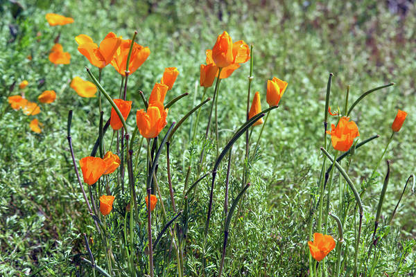 Photograph - Poppies 5776-031419 by Tam Ryan