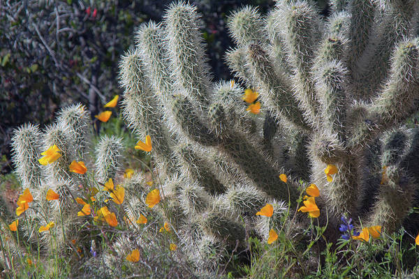 Photograph - Poppies And Cholla Cactus 5544-030519 by Tam Ryan