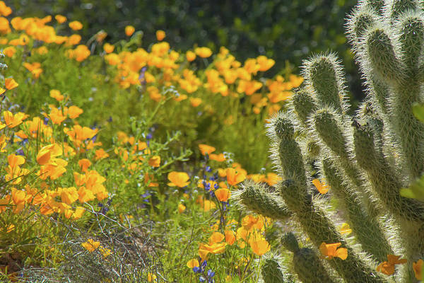 Photograph - Poppies And Cholla Cactus 5569 by Tam Ryan