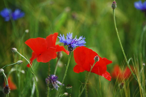 Photograph - Poppies And Cornflowers by Sonja Jones