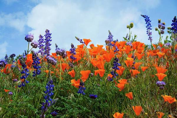 Photograph - Poppies And Lupines Against A Beautiful Blue Sky by Lynn Bauer