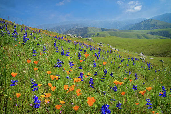 Photograph - Poppies And Lupines On Bear Mountain Road by Lynn Bauer