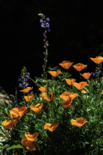 Photograph - Poppies And Mountain Lupine 5651-030519 by Tam Ryan