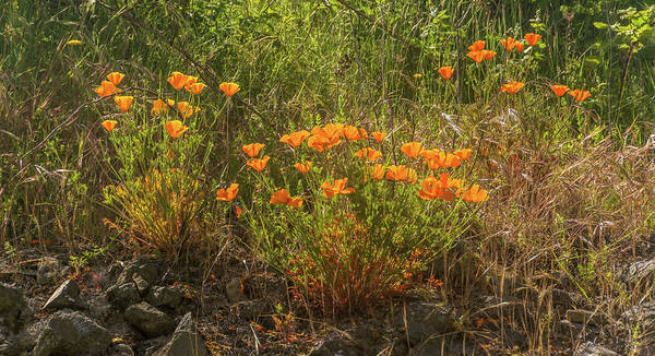 Wall Art - Photograph - Poppies By Trail To Beach by Marv Vandehey
