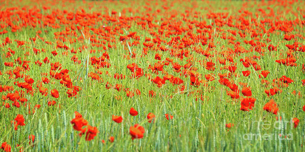Wall Art - Photograph - Poppies Field Panorama by Delphimages Photo Creations