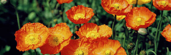 Wall Art - Photograph - Poppies In Bloom, Japan by Panoramic Images