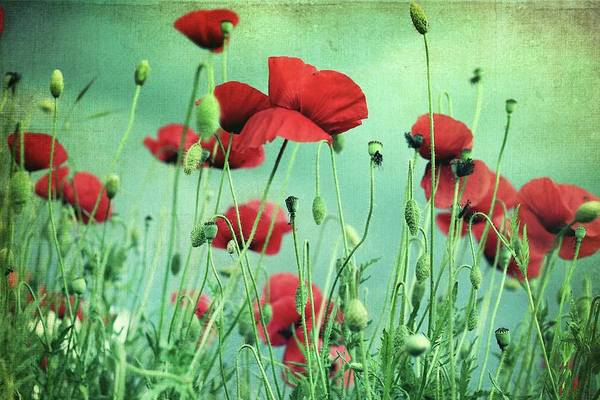Wall Art - Photograph - Poppies In Field by By Julie Mcinnes