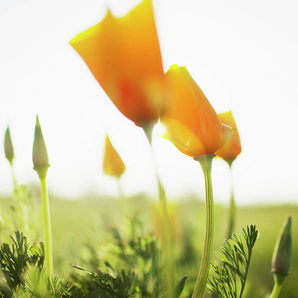Santa Rosa Photograph - Poppies In Field, Close Up, Surface by Miguel Salmeron