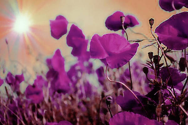 Photograph - Poppies In Sunlight by AE collections