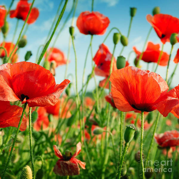 Herbal Wall Art - Photograph - Poppies On Green Field by Serg64