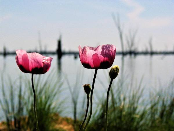 Photograph - Poppies On Lake Mulwala 2 by Joan Stratton