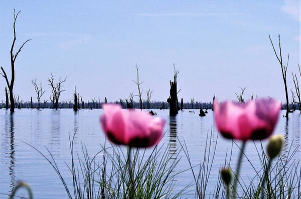 Photograph - Poppies On Lake Mulwala  by Joan Stratton