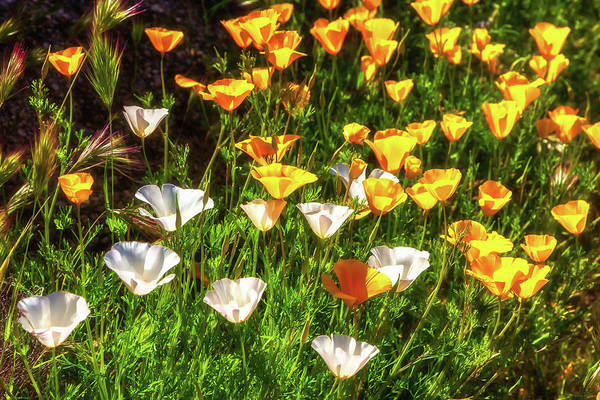 Photograph - Poppies by Rick Furmanek