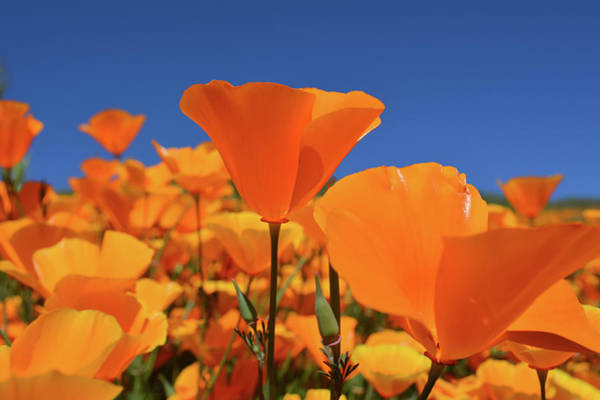 Photograph - Poppies Walker Canyon by Kyle Hanson