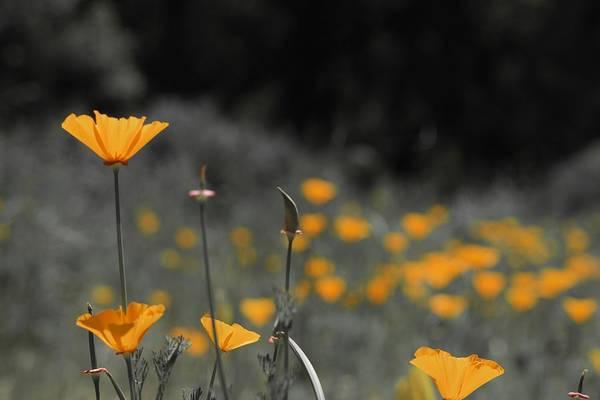 Photograph - Poppy Field Dreams by Lynda Anne Williams