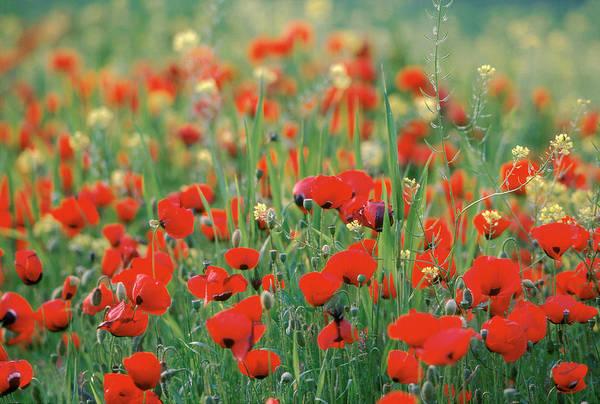 Greece Photograph - Poppy Field In Corinth, Greece - by Gerard Sioen