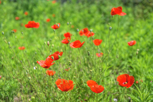 Wall Art - Photograph - Poppy Field by Jim Engelbrecht