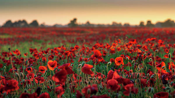 Photograph - Poppy Field Sunrise 2 by James Billings