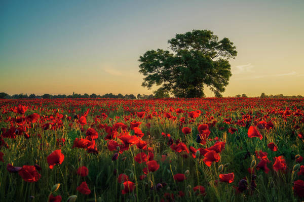 Photograph - Poppy Field Sunrise 4 by James Billings