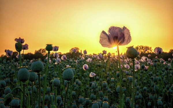Photograph - Poppy Field Sunset by Framing Places