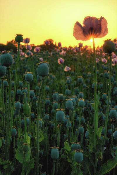 Photograph - Poppy Field Sunset Portrait by Framing Places