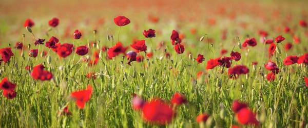 Photograph - Poppy Field by Visionandimagination.com