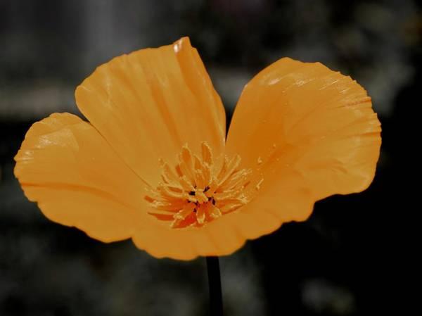 Photograph - Poppy On Grey by Lynda Anne Williams