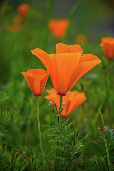 Photograph - Poppy Perfection In Walker Canyon by Lynn Bauer