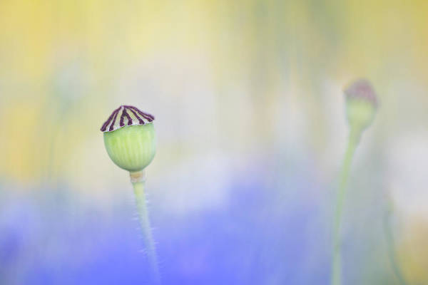 Wall Art - Photograph - Poppy Seed Head In A Sea Of Blue by Anita Nicholson