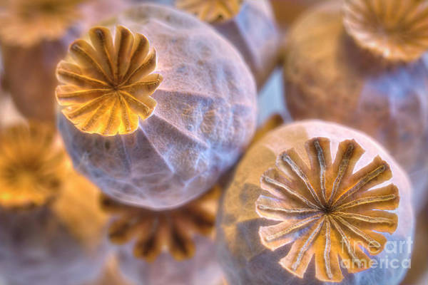 Wall Art - Photograph - Poppy Seed Pods 2 by Veikko Suikkanen