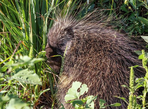 Photograph - Porcupine 4 by Michael Chatt