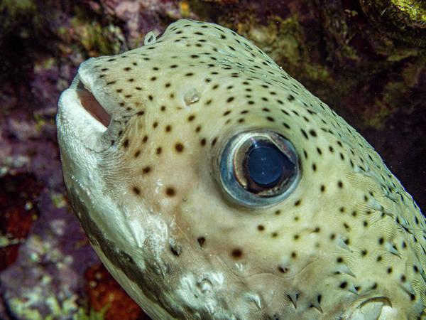 Photograph - Porcupine Fish Close Up by Jean Noren