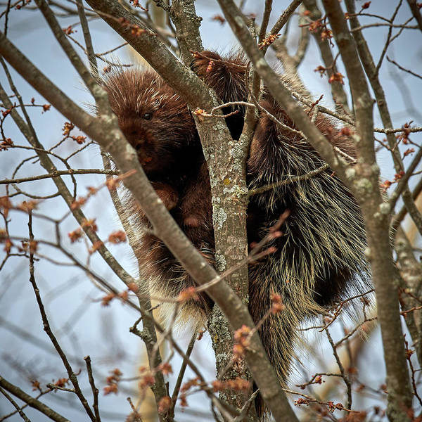 Wall Art - Photograph - Porcupine Hiding In Branches by Paul Freidlund