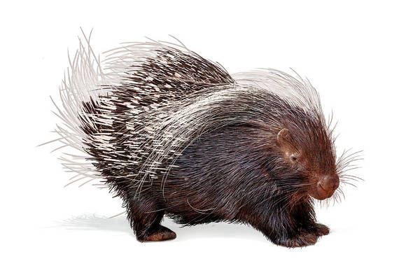 Wall Art - Photograph - Porcupine Named Porter by Susan Schmitz