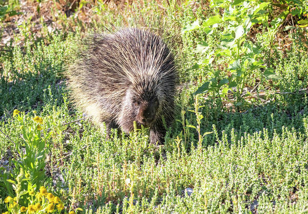 Photograph - Porcupine by Michael Chatt