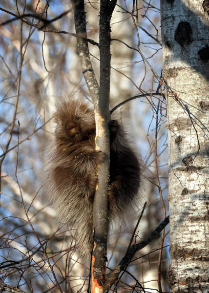 Photograph - Porcupine by Susan Rissi Tregoning