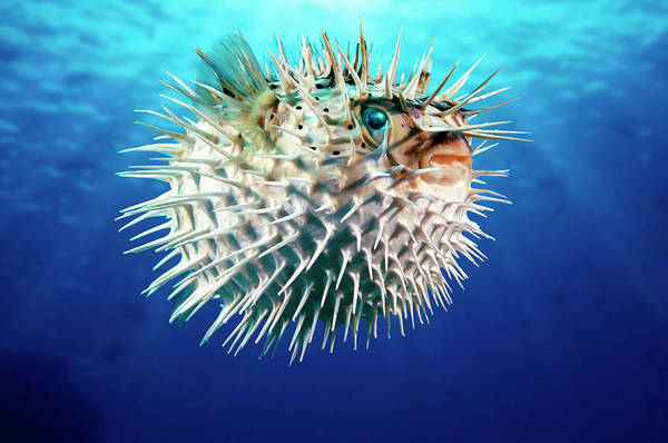 Balloonfish Photograph - Porcupinefish Diodon Hystrix by Steven Hunt