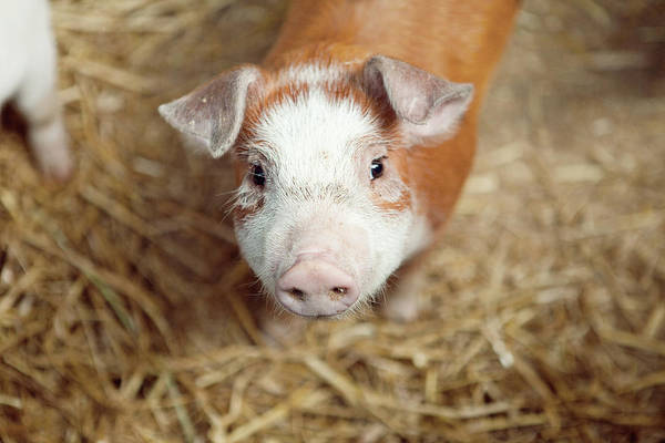 Pig Photograph - Porquet by Roc Canals Photography
