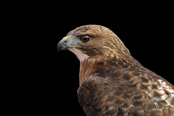 Photograph - Portait Of A Hawk by Ronnie and Frances Howard
