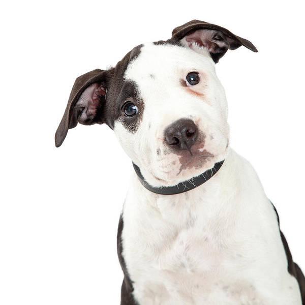 Wall Art - Photograph - Portrait Cute Pit Bull Terrier Puppy by Susan Schmitz
