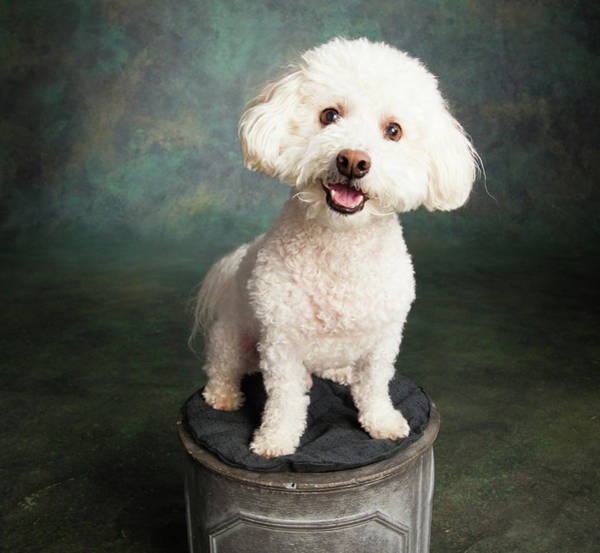 Wall Art - Photograph - Portrait Of A Bichon Frise Poodle Mix by Panoramic Images