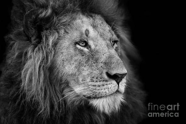Big Cat Wall Art - Photograph - Portrait Of A Big Lion From Rekero by Maggy Meyer