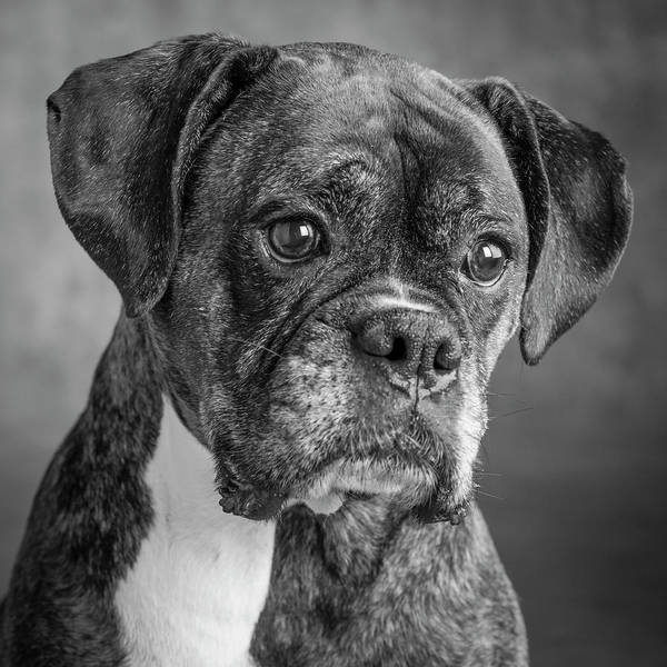 Wall Art - Photograph - Portrait Of A Boxer Dog by Panoramic Images