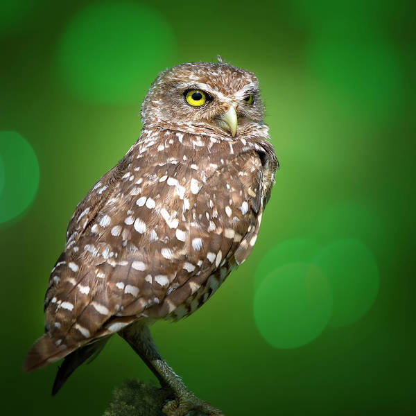 Wall Art - Photograph - Portrait Of A Burrowing Owl by Mark Andrew Thomas